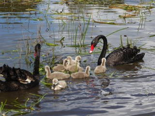 swans-plus-7-cygnets-noble-sanctuary-sep2016-noni-p1030138web600x400